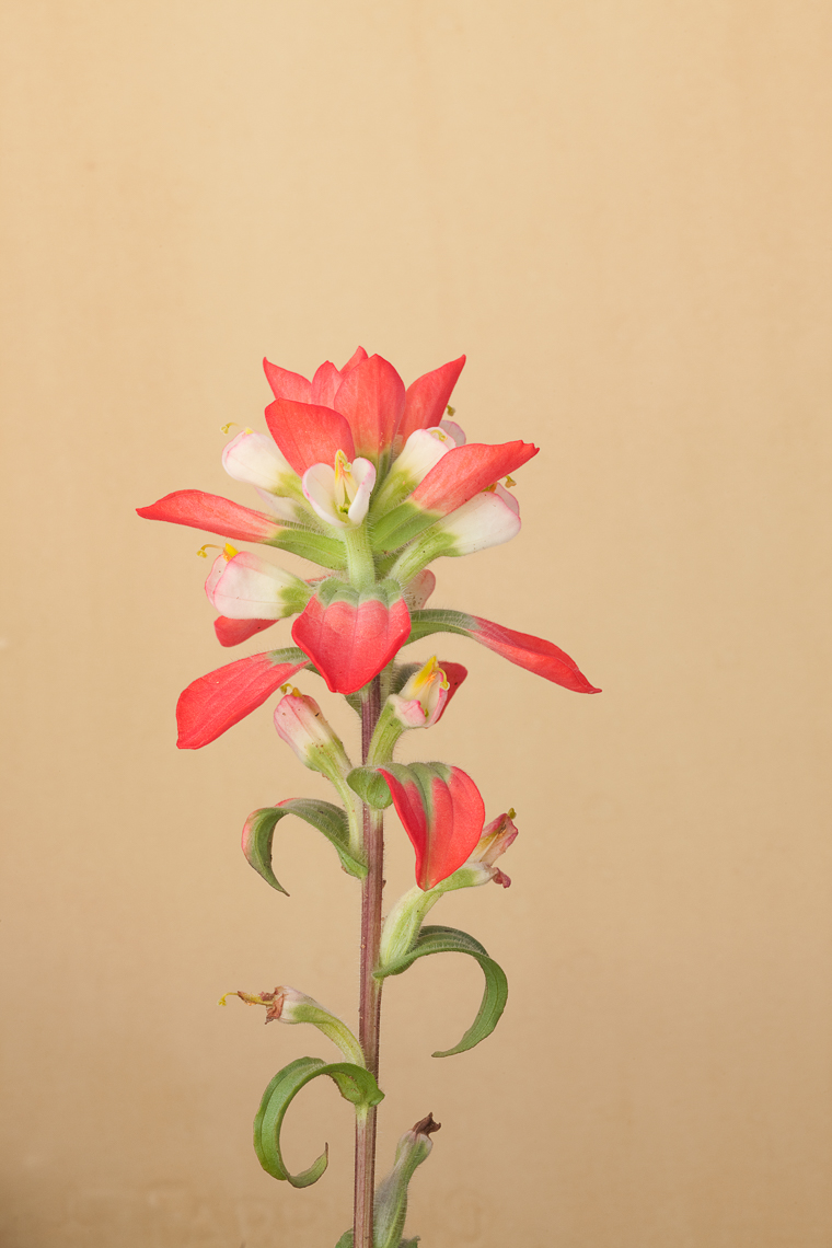 indian _paintbrush_9707