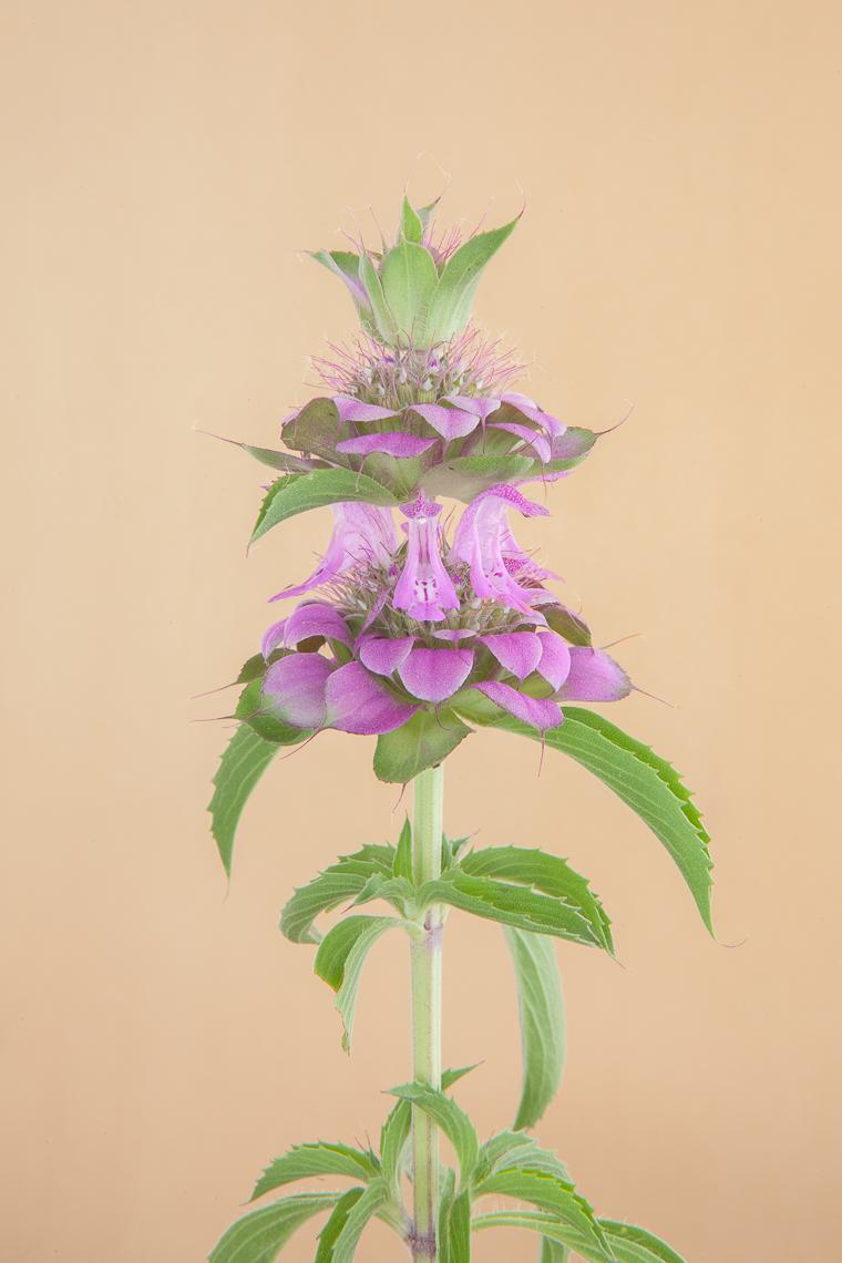 purple_horsemint_2139
