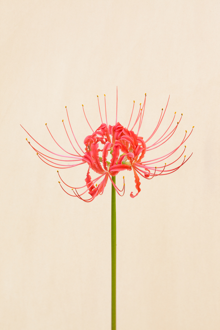 red_spider_lily_4488