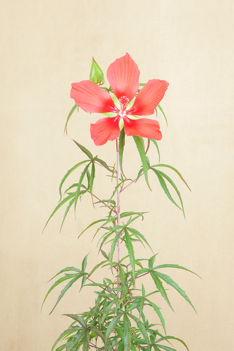 red_star_hibiscus_3013