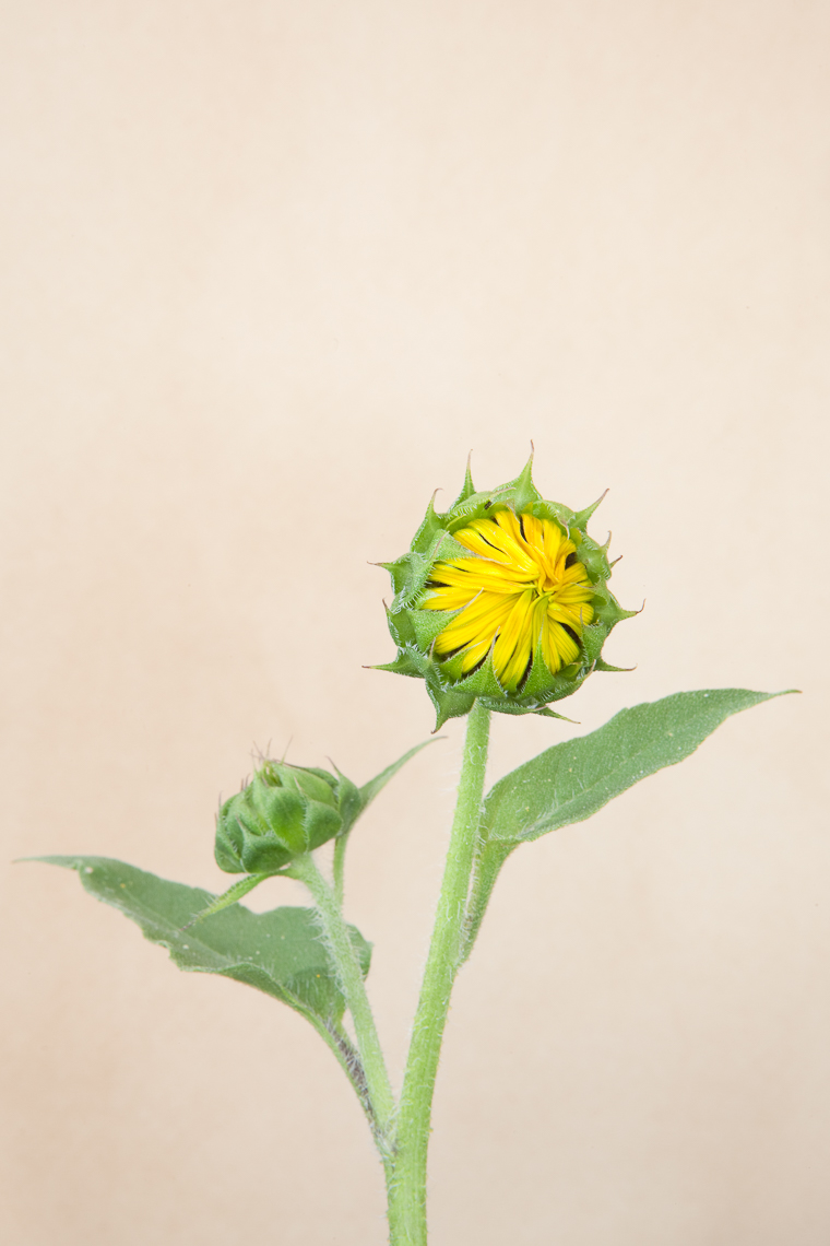 sunflower_3653